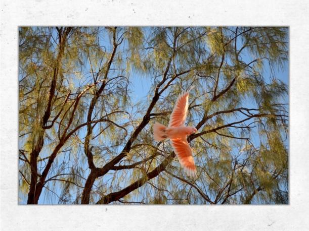 Cockatoo, Australie - Toile 40x60 par Esprit Combi - 58,00 €